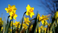 Yellow daffodils video