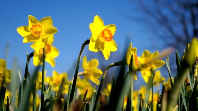 Yellow daffodils video