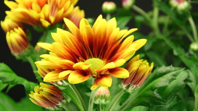 Yellow daisies blooming - American Chrysanthemum video
