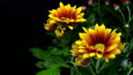 Yellow daisies blooming - American Chysantheme video