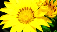 Yellow daisies blooming video