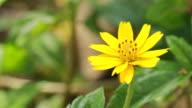 Yellow Daisy video