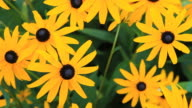 HD DOLLY: Yellow Echinacea video
