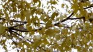 Yellow elm tree video