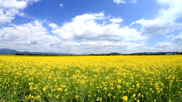 Yellow field of oilseed video