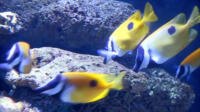 Yellow fish feeding on coral reefs. video