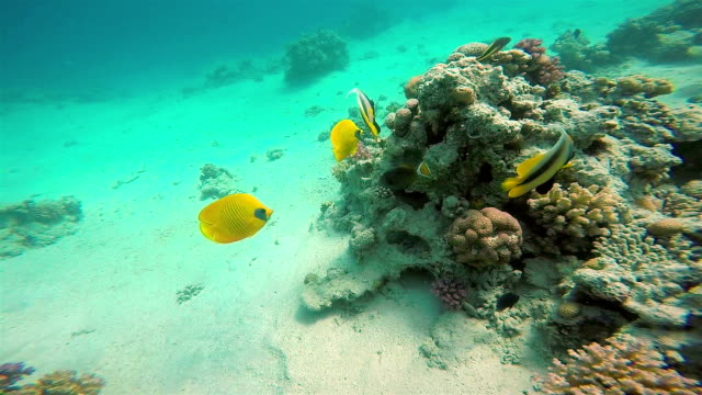 Yellow Fish On Vibrant Coral Reef, Red Sea video