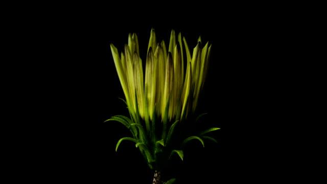 yellow flower blossom on dark background video