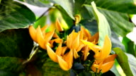 Yellow flower of Bastard Teak video