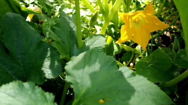 Yellow flower of blooming pumpkin VIDEO video