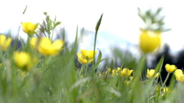 Yellow flowers field swaying in the wind in alps video
