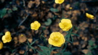 Yellow flowers of night blindness in the forest on a background of brown leaves video
