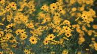 Yellow Flowers video