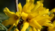 Yellow forsythia flowers on the branch and ants crawling, closeup video