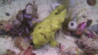 Yellow Frogfish video