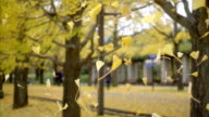 yellow gingko leaves falling together in the garden video
