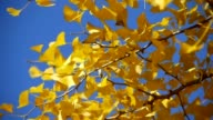 yellow ginkgo leaves in autumn video