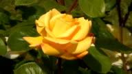 Yellow Irish rose 1 video