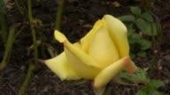 Yellow Irish rose 10 video
