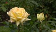 Yellow Irish rose 11 video