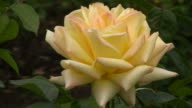 Yellow Irish rose 12 video