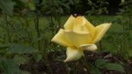 Yellow Irish rose 13 video