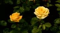 Yellow Irish rose 2 video