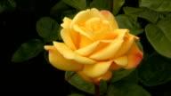 Yellow Irish rose 3 video