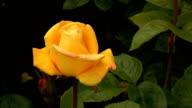 Yellow Irish rose 4 video