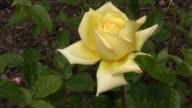 Yellow Irish rose 9 video