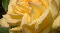 Yellow Irish rose video
