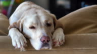 Yellow lab falls alseep on back of couch video