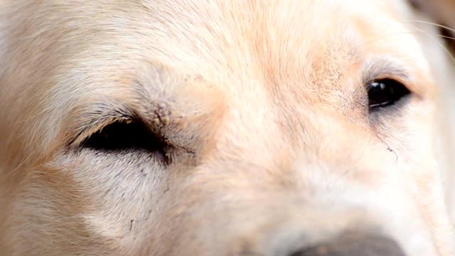 Yellow Labrador Retriever Puppy Eyes video