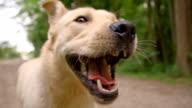 SLO MO Yellow labrador retriever running on a dirt road video