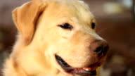Yellow Labrador Retriever, Slow motion video