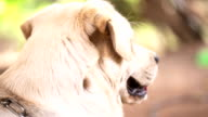 Yellow Labrador Retriever video