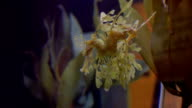 Yellow Leafy Sea Dragon (Long) video