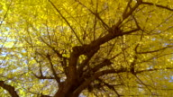 Yellow leaves of ginkgo video