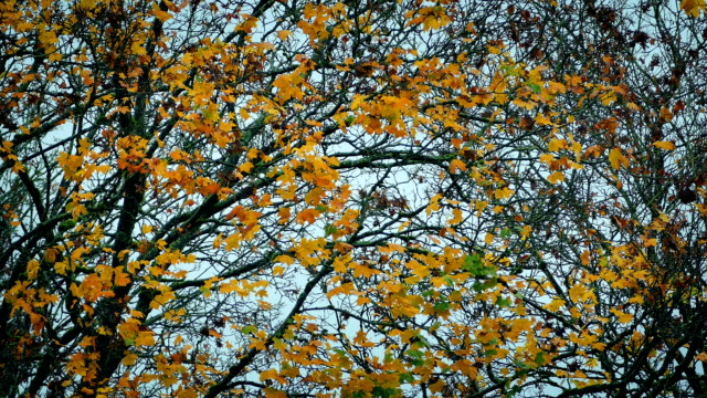 Yellow Leaves On Tree In The Fall video