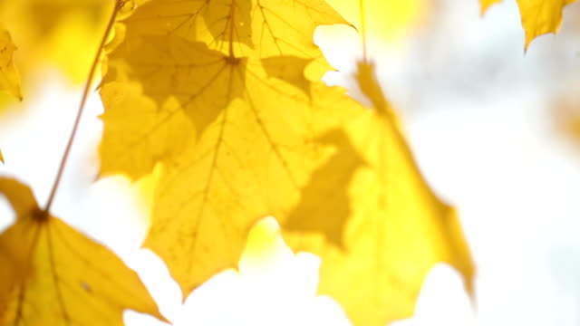 yellow leaves swaying on tree branch video