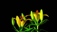 Yellow lilies bloom, time-lapse video