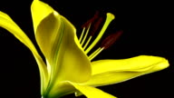 Yellow Lily Blooming video