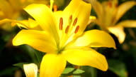 Yellow Lily video