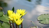 Yellow Lotus and Bee flying out  on the pond. video