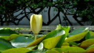 Yellow Lotus blooming Side View video