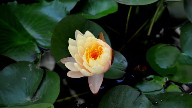 Yellow lotus blooming timelapse. video