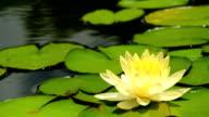 Yellow lotus video