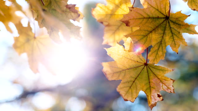 Yellow maple casting waving against the sky and sun video