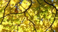 Yellow maple leaf blowing in the wind video