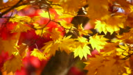 Yellow maple leaves in red (video) video